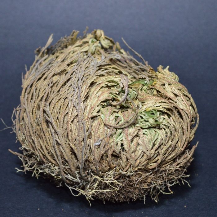 ROSE OF JERICHO (1 piece)
